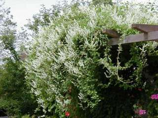 SILVER LACE / RUSSIAN VINE Polygonum aubertii   30+EXTRA seeds. Fast