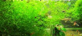 Najas Guppy Grass Live Aquarium Plant