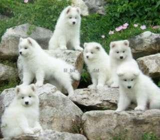2012 Samoyed Puppy Dog Wall Calendar Puppies